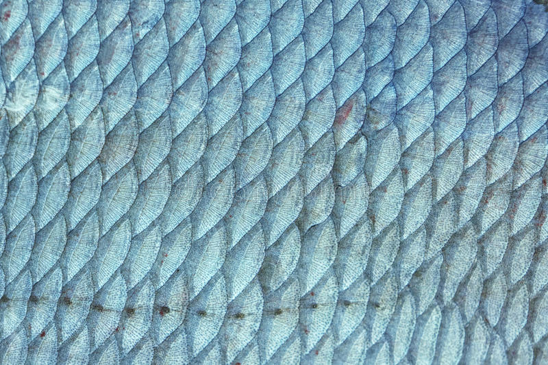Bream fish scales, toned. Bream Abramis Brama fish scales, natural texture, toned image royalty free stock images