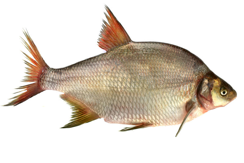 Bream. Isolated on the white background stock photography