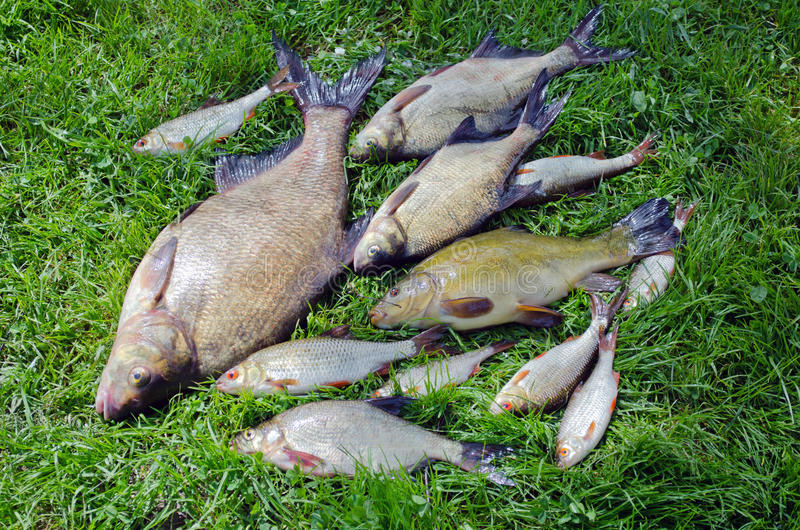 Bream roach tench fishes caught lake after fishing