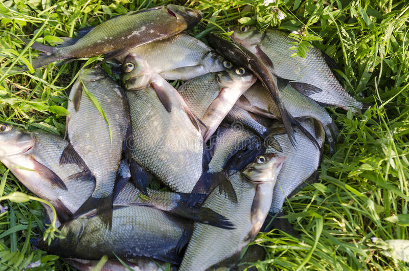 Bream on the shore. A lot of bream caught fisherman put them ashore royalty free stock photography