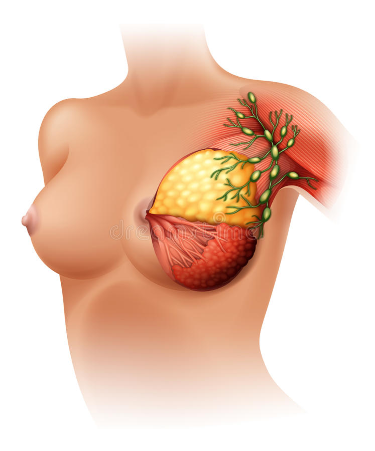 Breast Anatomy. Illustration of the breast Anatomy on a white background stock illustration