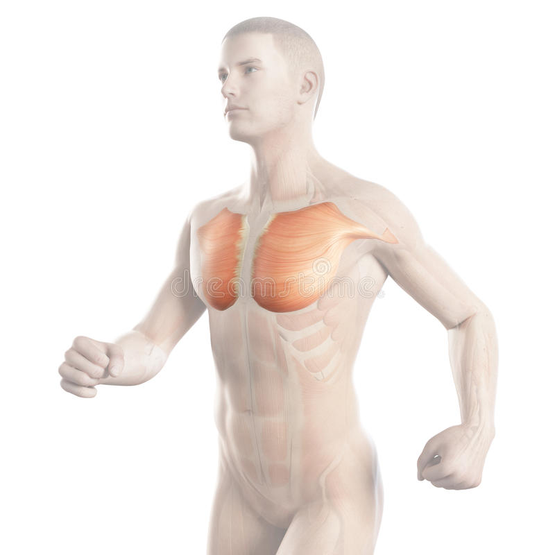 The breast muscle of a jogger. Illustration showing the breast muscle of a jogger vector illustration