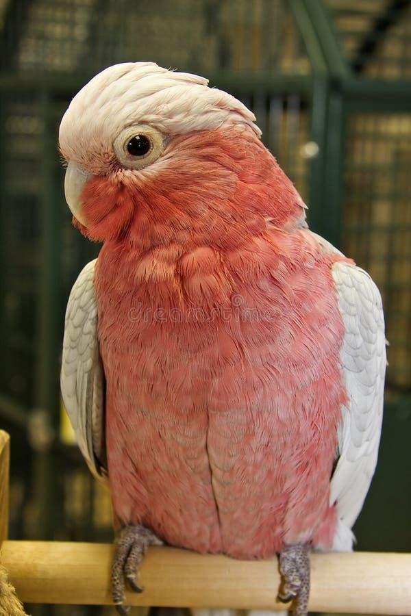 breasted美冠鹦鹉上升了 图库摄影