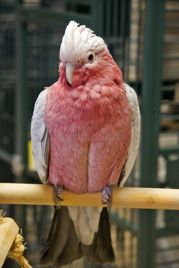 breasted美冠鹦鹉上升了 库存照片