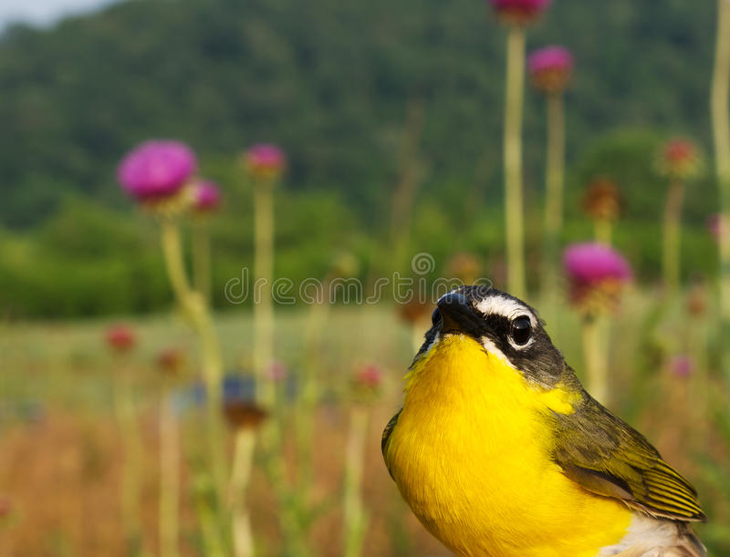 breasted желтый цвет бормотушк стоковые изображения rf