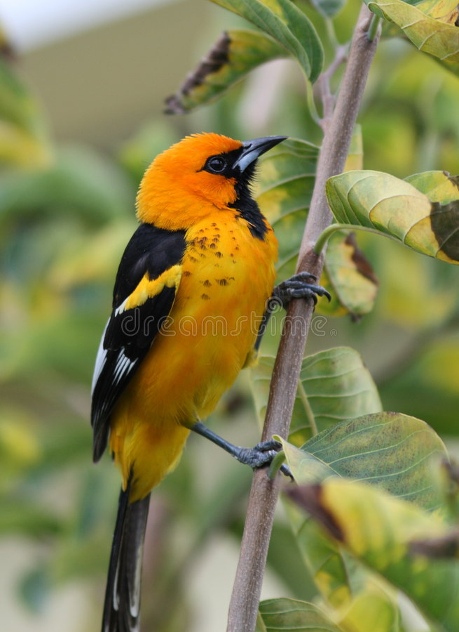 breasted пятно oriole стоковое фото