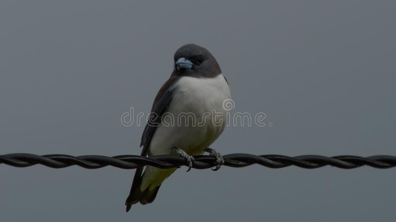 Breasted blanco Woodswallow fotos de archivo libres de regalías
