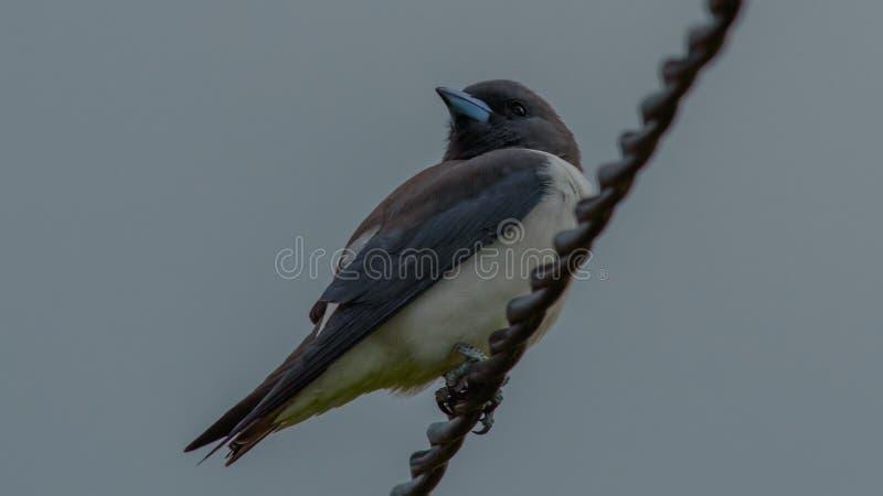 Breasted branco Woodswallow imagens de stock