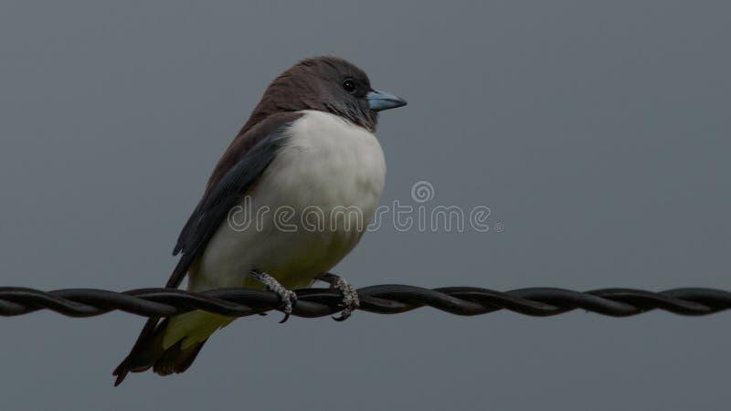 Breasted branco Woodswallow imagem de stock