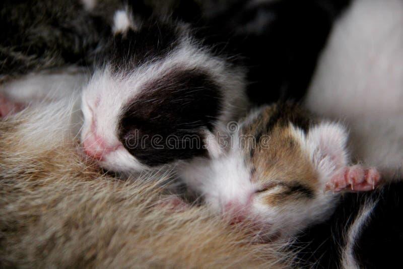 Breast Milk. Kitty. Breastfeeding. One new born baby cat breast milk. Stray cat  give born baby stock image