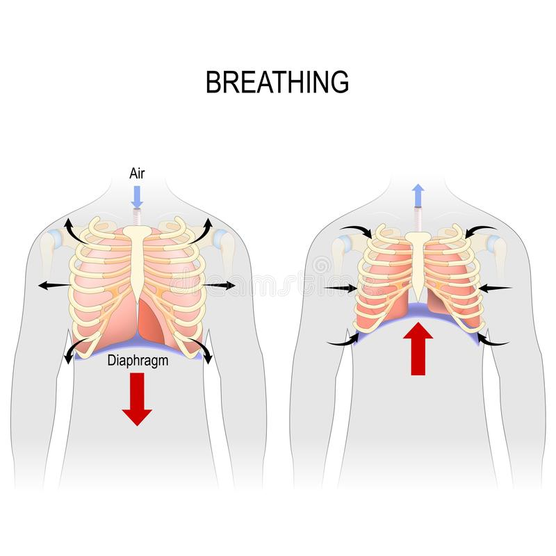 Breathing. Movement of ribcage during inspiration and expiration. diaphragm functions vector illustration