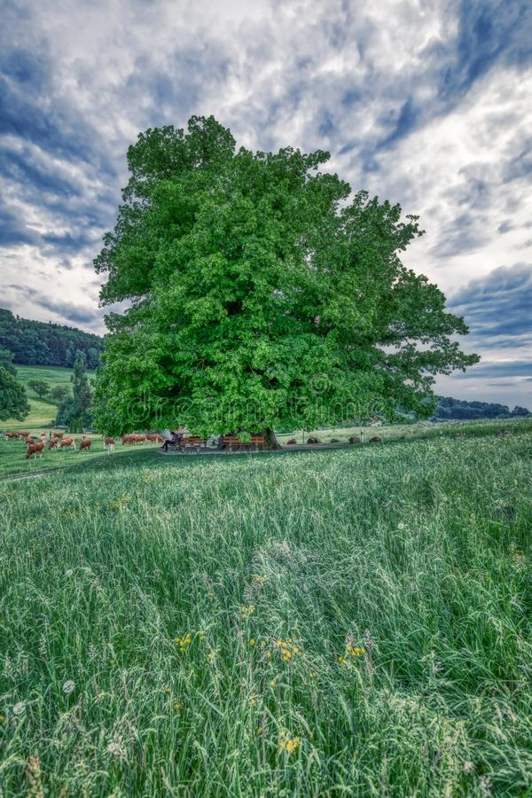 Breathtaking HDR shot of an old linden tree under spectacular sky in linn. Aargau in switzerland stock image