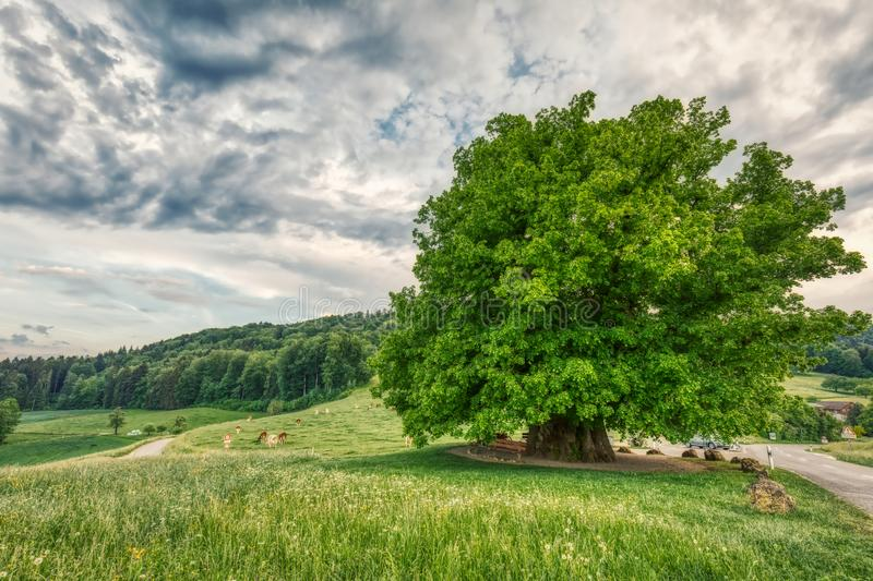 Breathtaking HDR shot of an old linden tree under spectacular sky in linn. Aargau in switzerland stock photo