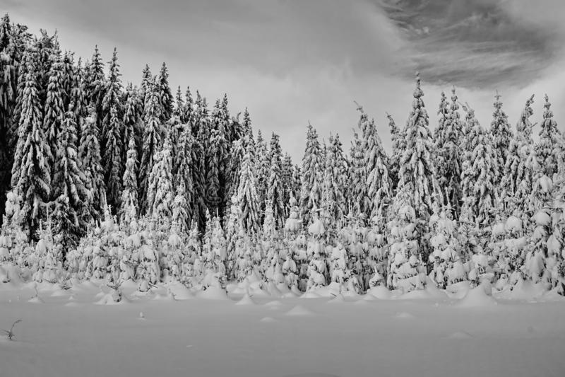 Mountains winter pine tree forest landscape - Black and white stock photos