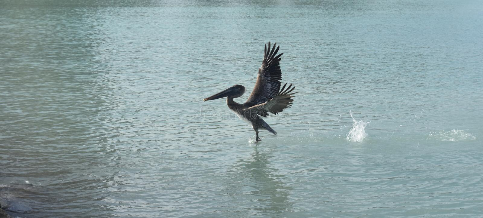 Breathtaking photo of a pelican landing into the water royalty free stock images
