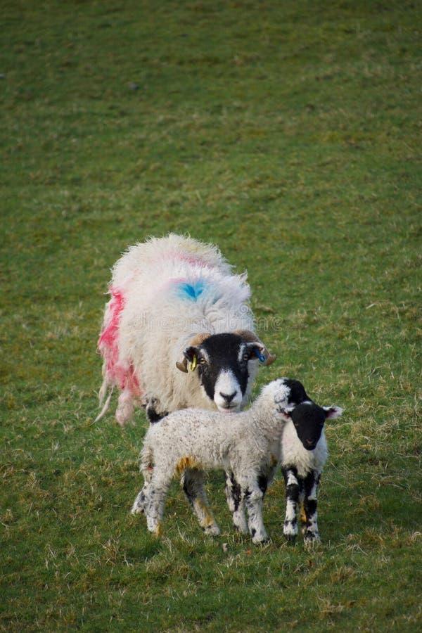 Brebis de moutons de mère avec deux jeunes agneaux image stock