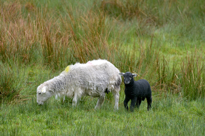 Brebis et agneau, Coniston images stock
