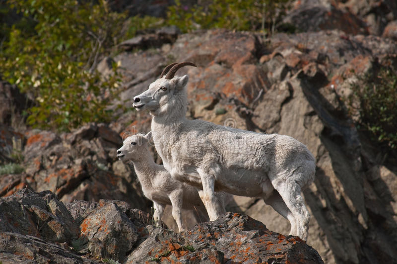 Brebis et agneau de moutons de Dall photos stock