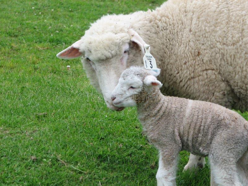 Brebis et agneau nouveau-né image libre de droits