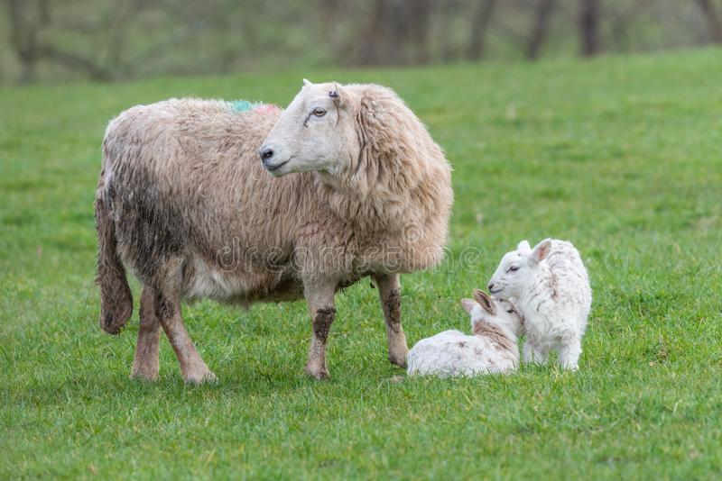 Brecon Beacons ewe with two lambs royalty free stock images