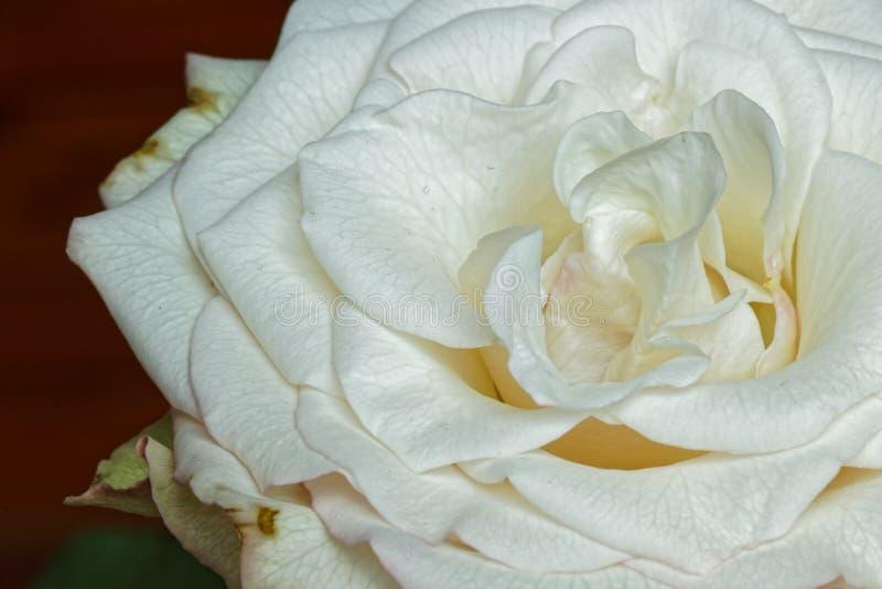 Bred öppnad vit rosa blomma med detaljer royaltyfria foton