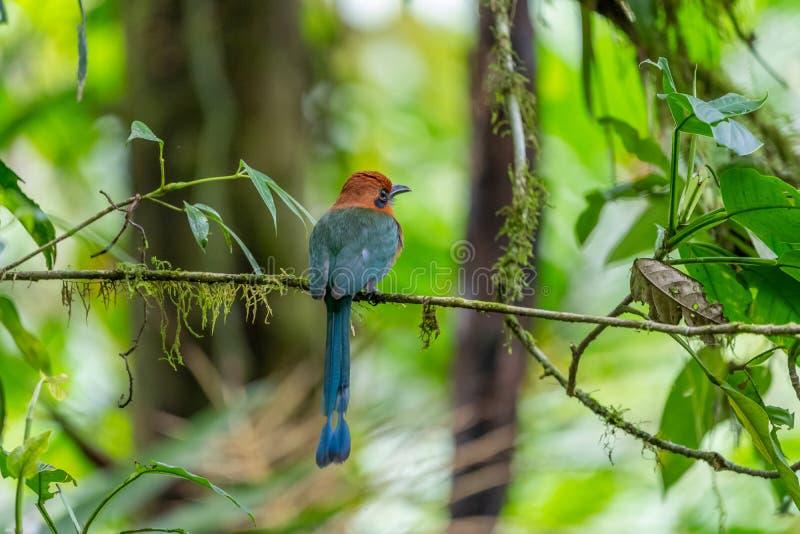 Bred-fakturerade Motmot ( Elektron platyrhynchum) i Costa Rica arkivfoto