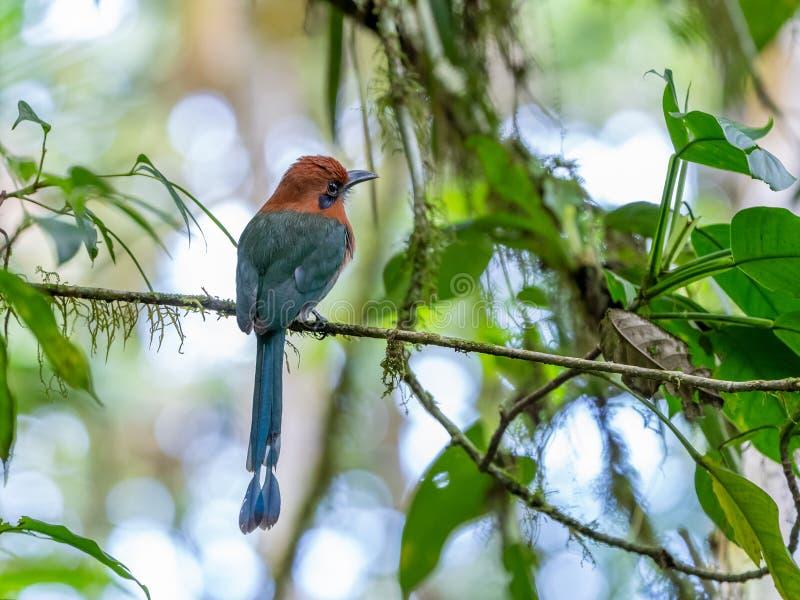Bred-fakturerade Motmot ( Elektron platyrhynchum) i Costa Rica royaltyfri fotografi