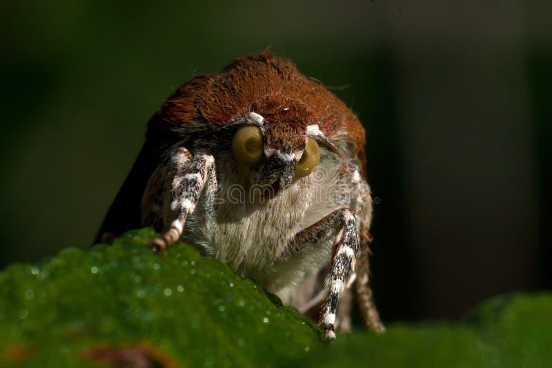 Bred-gränsad underwing mal för guling, Noctuafimbriata arkivbilder