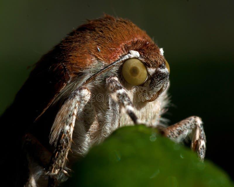 Bred-gränsad underwing mal för guling, Noctuafimbriata royaltyfria foton