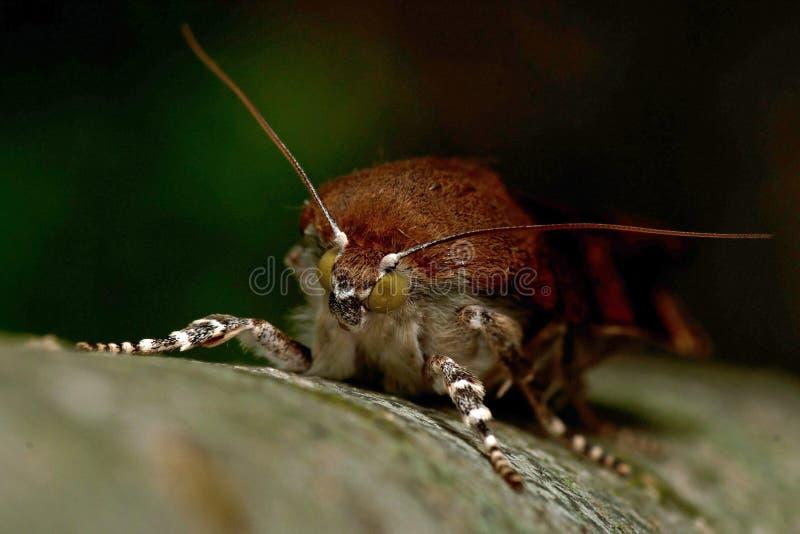 Bred-gränsad underwing mal för guling, Noctuafimbriata royaltyfri foto