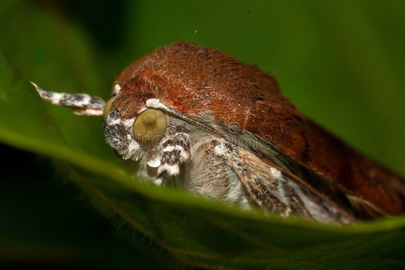 Bred-gränsad underwing mal för guling, Noctuafimbriata arkivbild