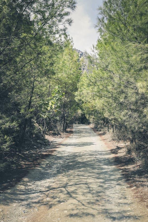 Bred och rak stenig slinga i mitt av pinjeskogen arkivbilder