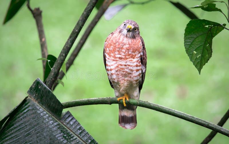 Bred-påskyndad Hawk Buteo platypterus royaltyfria bilder
