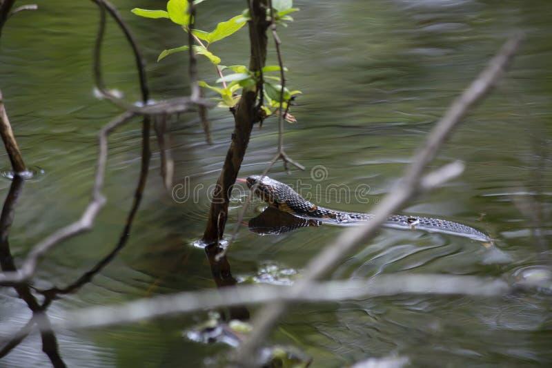 Bred-satt band simning för vattenorm royaltyfri bild