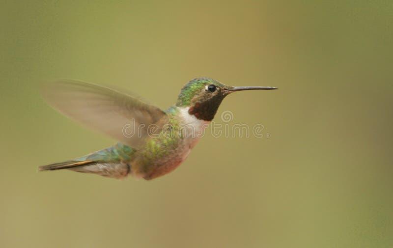 Bred-tailed hummingbird (den Selasphorus platycercusen) arkivbild