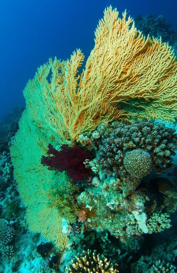 Bred vinkelgulinggorgonia inom korallträdgården royaltyfri fotografi
