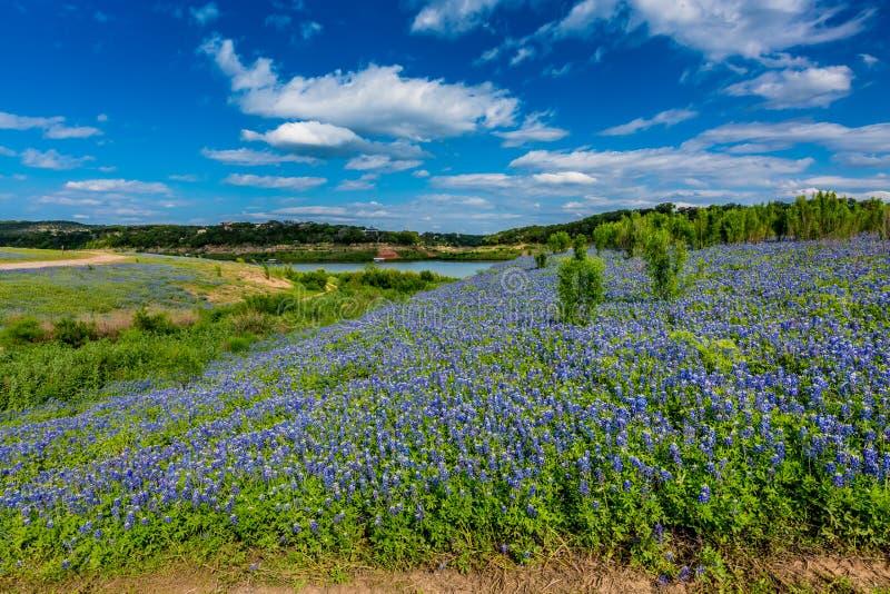 Bred vinkelsikt av berömda Texas Bluebonnet (Lupinustexensis) Wi royaltyfri foto