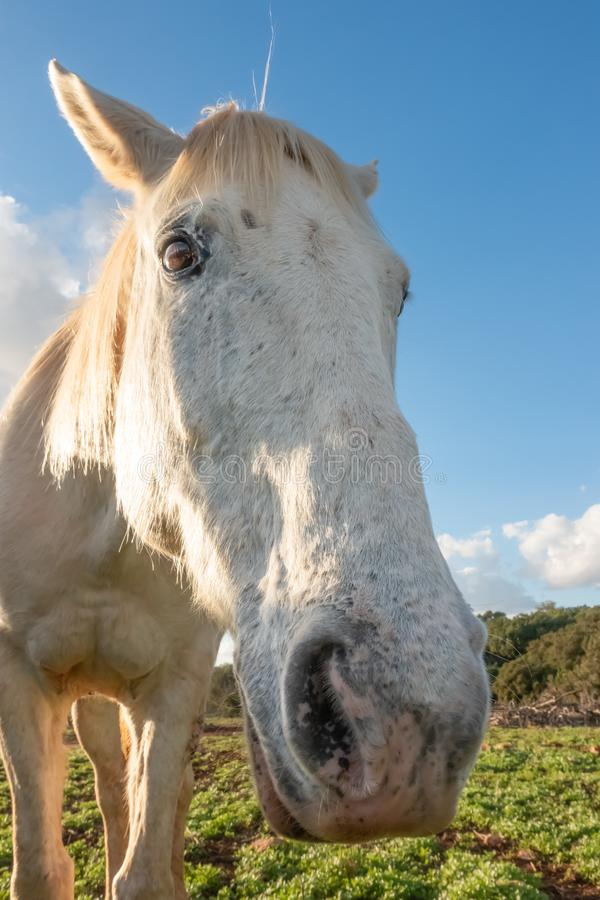 Bred vinkelstående av en vit häst arkivfoto