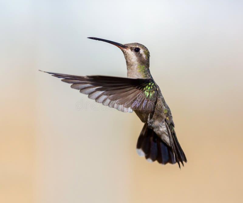 Brede Gefactureerde Kolibrie stock afbeelding