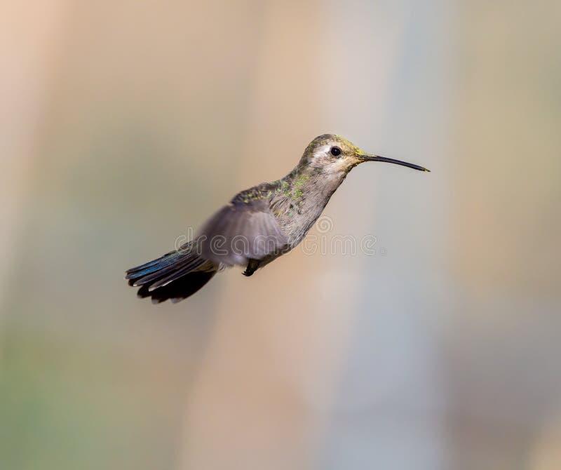 Brede Gefactureerde Kolibrie royalty-vrije stock fotografie