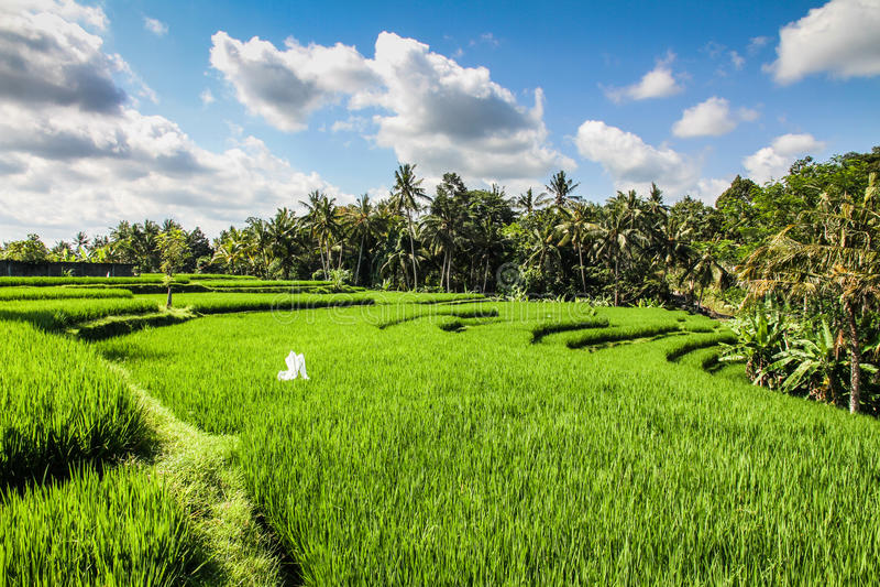 Brede groene rijstterrassen - Bali, Indonesië stock afbeelding