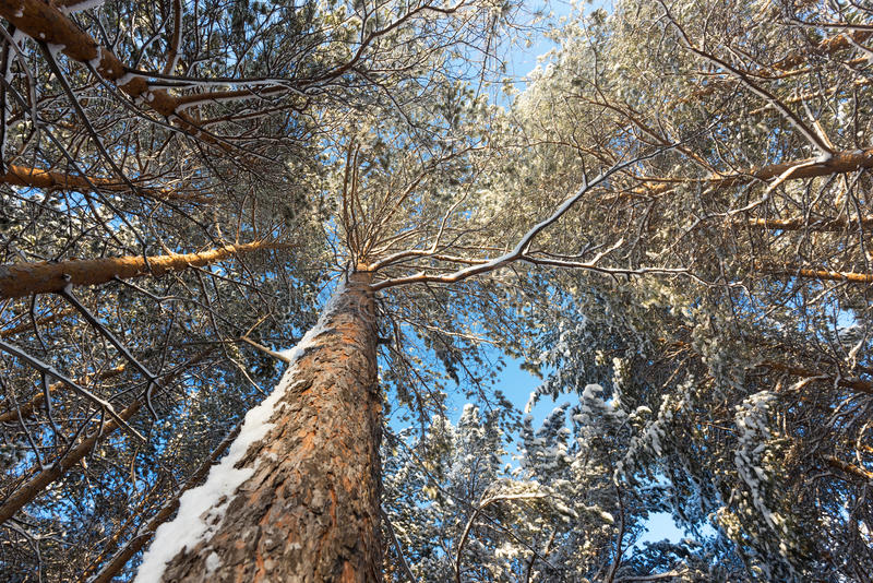 Brede hoek die van de kroon van het bos ural van de pijnboomboom in de winter wordt geschoten, stock foto