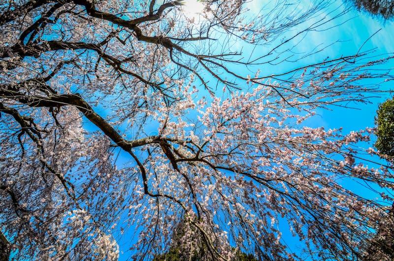 Brede hoekmening die van een het huilen boom van de kersenbloesem, omhoog de hemel bekijken Genomen bij het Nationale Arboretum i stock fotografie