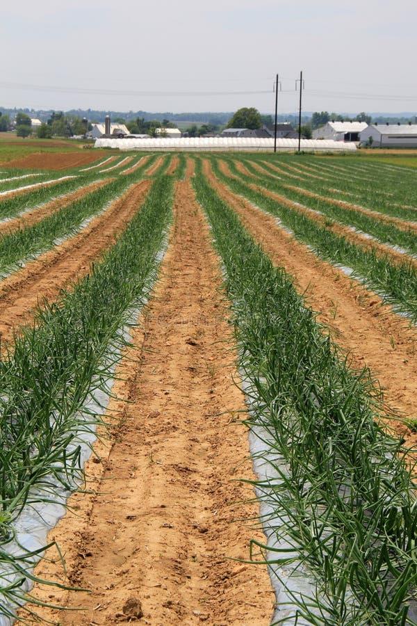 Brede open gebieden met gewassen die door rijke grond beginnen op te duiken stock afbeeldingen