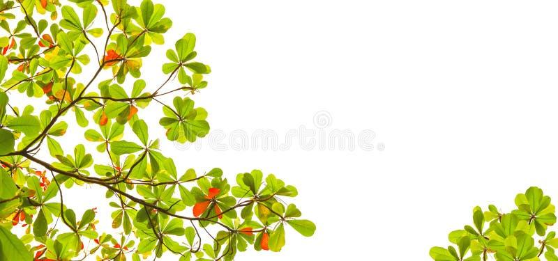 Brede vorm van groene en rode overzeese die amandelbladeren met boomtak op wit gebruik als achtergrond als natuurlijke exemplaarru royalty-vrije stock afbeelding