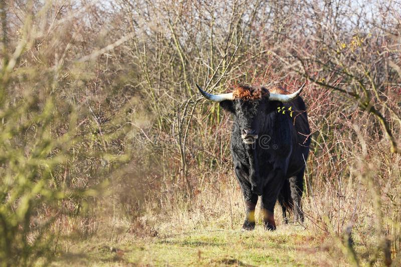 Breed back the Aurochs into existence from the descendant domesticated cattle - Bos primigenius - in Czech republic. Tauros Programme started ecological stock image