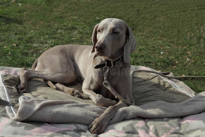 Breed dog, gray royalty free stock photography