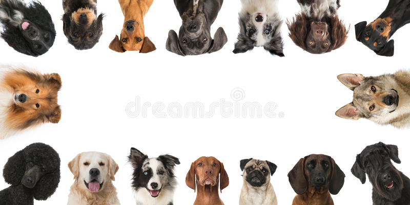 Breed dogs. Many heads of breed dogs isolated on white