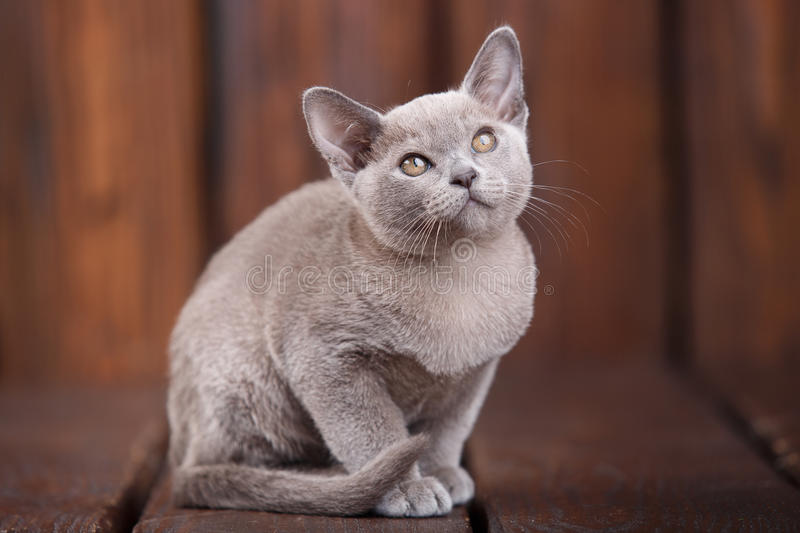 Breed of European Burmese cat, gray, sitting on a brown wooden background royalty free stock image