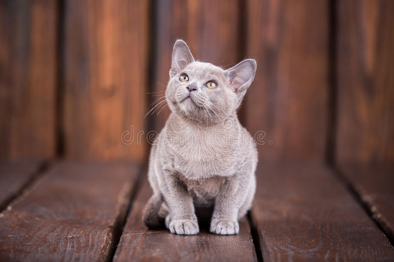 Breed of European Burmese cat, gray, sitting on a brown wooden background. And looking up stock photo